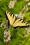 Insects- Butterfly