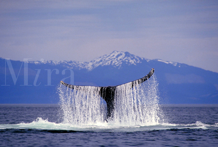 Water cascades off a humpback whale's tail as the whale slaps the water with his tail or fluke in the ocean waters surrounding the Tongass National Forest in Southeast Alaska. Alaska, Southeast Alaska.