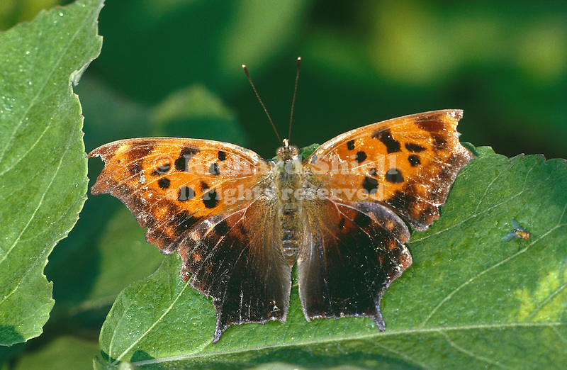 1168-HK Polygonia interrogationis, Question Mark Butterfly