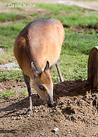 0601-1106  Red-flanked Duiker, Cephalophus rufilatus  © David Kuhn/Dwight Kuhn Photography