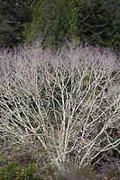 Quercus kelloggii (Black Oak), California native deciduous tree in winter with bare branch structure