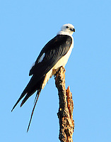 Adult swallow-tailed kite. This was a favorite perch and it was rarely empty as birds traded around.
