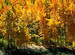 In the forest northeast of Telluride, Colorado, a warm Indian summer wind blows across the changing mosaic of an aspen grove.