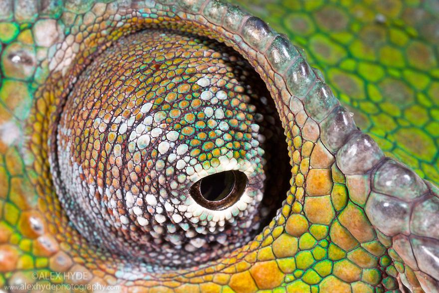 Panther Chameleon {Furcifer pardalis} close-up of eye swivelling in socket. Masoala Peninsula National Park, north east Madagascar. SEQUENCE 2 OF 3