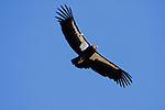 California Condor (Gymnogyps californianus) twelve year old male flying with wing tags, Big Sur, California