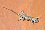 Desert Spiny Lizard (Sceloporus Magister) on sandstone in the southwest USA.