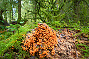 Eggs of Salmon (Trichia decipiens) slime mould fruiting bodies on moss-covered decaying tree trunk. Highlands, Scotland, UK. October.