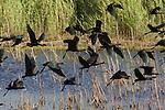 Ibis falcinelles. Sous Moussa, parc national de l'oued Moussa