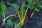 Colorful rhubarb 10-19-19-269