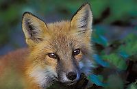 Red Fox. Youngster in boreal forest..Autumn. Gros Morne National Park,.Newfoundland, Canada. (Vulpes vulpes).