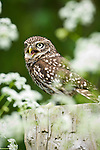 Little Owl (Athene noctua) calling from fence post. Farmland, Surrey, England. (Controlled Conditions).
