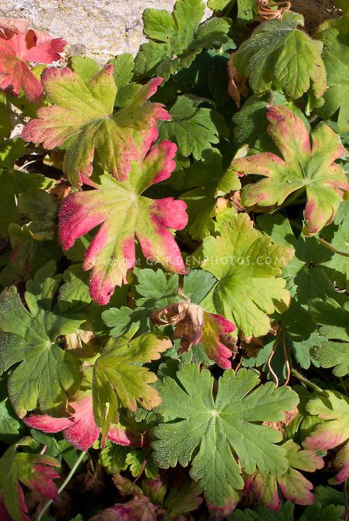 Geranium macrorhizum 'Album' in autumn fall foliage leaf color