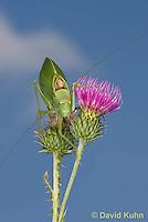 0815-0912  Common True Katydid (Northern True Katydid), Pterophylla camellifolia © David Kuhn/Dwight Kuhn Photography