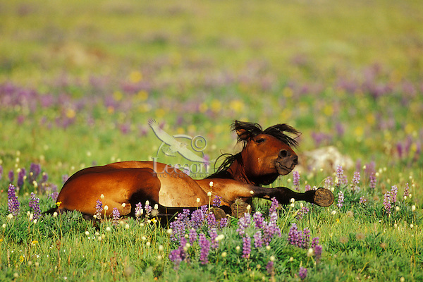 Wild Horse rolls in wildflowers in high mountain meadow.  Western U.S., summer..(Equus caballus)
