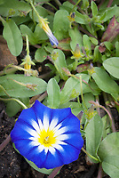 Convolvulus tricolor 'Blue Ensign' (Dwarf Morning Glory)