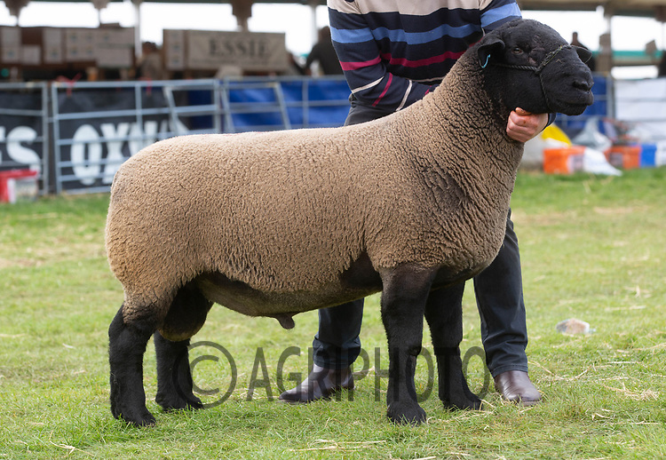 Kelso Ram Sale 2018<br /> Lot 2950       suffolk 5000gns A Gray and Son<br /> ©Tim Scrivener Photographer 07850 303986<br />      ....Covering Agriculture In The UK....