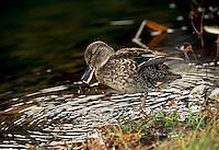 Wild young mallard duck,Anas platyrhynchos, washing and shaking-- kicking and making a splash, Midwest pond, USA