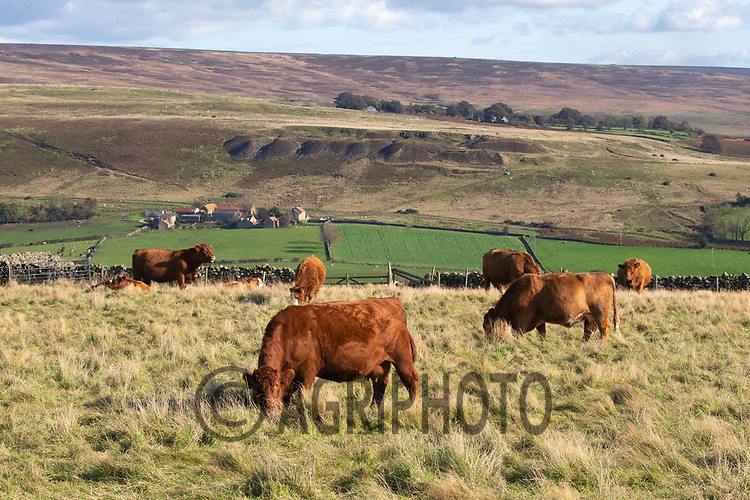 6.10.2020 Cattle grazing on the North Yorkshire Moors<br /> ©Tim Scrivener Photographer 07850 303986<br />      ....Covering Agriculture In The