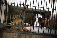 CHINA. Hubei Province. Wuhan. Lions in an enclosure in Wuhan zoo. In many of China's 'second-tier' cities, away from the modern zoos in the megacities of Beijing and Shanghai, hide a plethora of smaller unknown zoos. In these zoos, what can only be described as animal abuse is subtly taking place in the form of deprivation of light, space, sanitation and social contact with other animals. Living in awful conditions, these animals spend there days entertaining tourists who seem oblivious to the animals' plight and squalid existence. 2008.