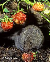 MU30-168z   Meadow Vole - eating strawberries - Microtus pennsylvanicus