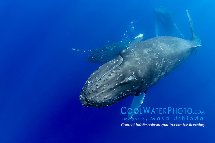humpback whales, Megaptera novaeangliae, courtship behavior, heat run or mating contest - competing male whales battle each other blowing bubbles aggressively possibly to gain access to a female as well as to fend off other males, Hawaii, Pacific Ocean