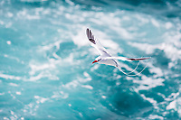 Red-billed tropicbird flying above the agitated, turquoise Pacific Ocean, on Santa Cruz Island, in the Galapagos Archipelago National Park, Ecuador
