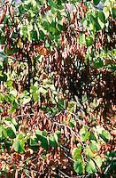 Gewöhnlicher Judasbaum, Frucht, Früchte, Cercis siliquastrum, Siliquastrum orbicularis, Judas tree, Judas-tree, fruit, L'Arbre de Judée