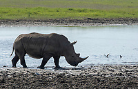 Southern White Rhinoceros, Ceratotherium simum simum, at the edge of a pond in Lake Nakuru National Park, Kenya