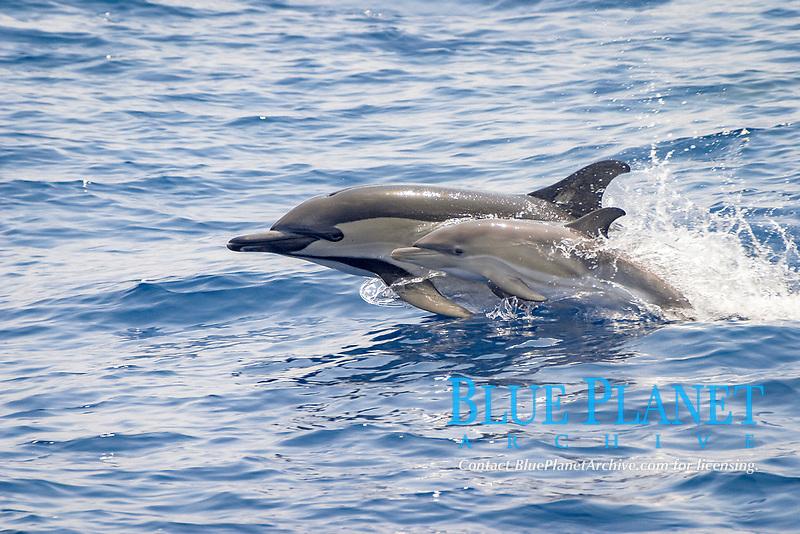 short-beaked common dolphin, Delphinus delphis, Azores Islands, Portugal, North Atlantic