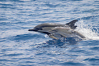 short-beaked common dolphin, Delphinus delphis, Azores Islands, Portugal, North Atlantic