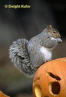 MA23-146z   Gray Squirrel - looking around for danger - Sciurus carolinensis.
