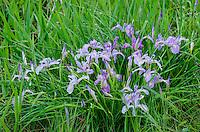 Tough Leaf Iris, Oregon Iris, or wild iris (Iris tenax).  Pacific Northwest.  Spring.
