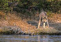 Wild Yellowstone wolf on stream bank Wild Wolf photos from Yellowstone National Park