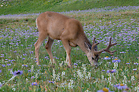 Mule Deer (Odocoileus hemionus) buck in wildflowers (mostly wild asters).  Glacier National Park, Montana.  Summer.