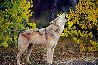 Gray Wolf (Canis lupus) howling near fall colored aspen trees.