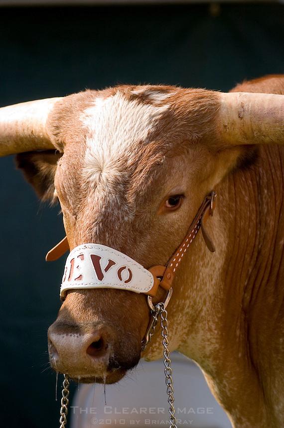 02 September 2006: University of Texas' Longhorn mascot, Bevo, eagerly awaits the beginning of Texas' season opener against the University of North Texas at Darrell K Royal Stadium in Austin, TX.