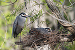 Brazoria County, Damon, Texas; a yellow-crowned night heron sitting on eggs in it's nest, situated on a tree branch in early morning sunlight, while it's mate stands nearby