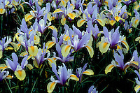 Iris Dutch type blue and yellow with yellow beard in bloom