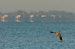 Brown Pelican Hunting at Sunrise, Eastern Brown Pelican, Pelecanus occidentalis carolinensis, Sanibel Island, Florida