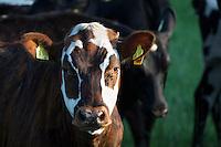 Rind, Hausrind, Kuh, Kühe, Rinder, artgerechte Tierhaltung, Weidevieh, Weidewirtschaft, cattle, cow. Hamfelder Hof, Schleswig-Holstein