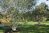 Birch and Acer Griseum in the garden