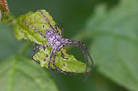 Laufspinne, Flachstrecker, Philodromus spec., philodromid crab spider, wandering crab spider, Laufspinnen, Philodromidae, philodromid crab spiders