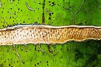 Nikau Palm trunk close up, Paparoa National Park, Punakaiki, West Coast, New Zealand