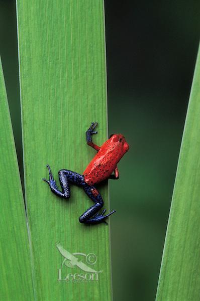 STRAWBERRY POISON FROG..Native to Nicaragua, Costa Rica & Panama..Captive. (Dendrobates pumilio).