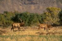 628850057 a wild bull tule elk cervus nannodes bugles as he follows a female through an open field near bishop along the eastern sierras in inyo county california