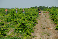 DEUTSCHLAND, Wenzendorf, Anbau von Christbaeumen, polnische Arbeiter jaeten Unkraut / GERMANY cultivation of pine trees for X-mas