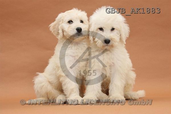 Kim, ANIMALS, fondless, photos(GBJBAK1883,#A#) Hunde, perros