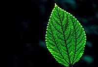 Backlit mamaki (pipturus albidus) leaf with dark backround
