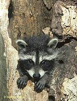 MA25-080z  Raccoon - young raccoon in hollow tree cavity - Procyon lotor