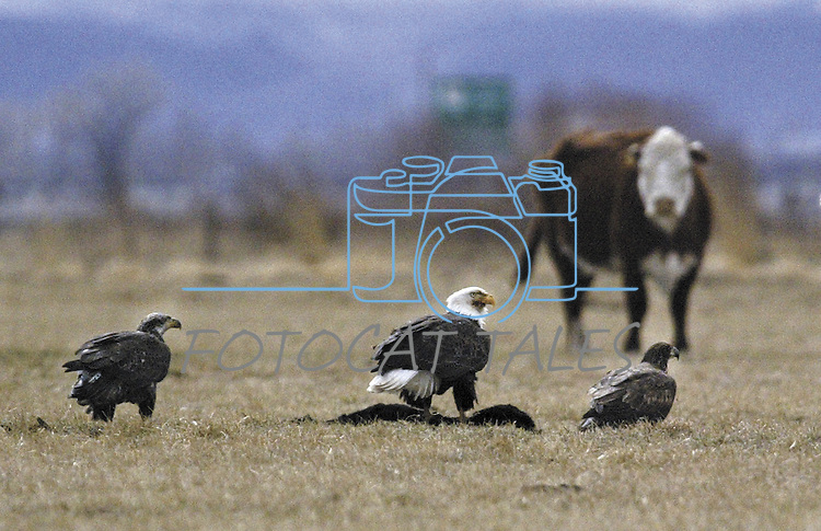 A group of bald eagles eat a dead calf at a ranch on Tuesday, Feb. 17, 2004, near Minden, Nev. .Photo by Cathleen Allison/Copyright Nevada Appeal